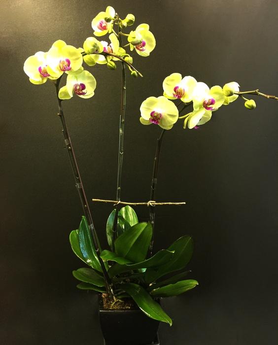 yellow phalaenopsis orchid plant