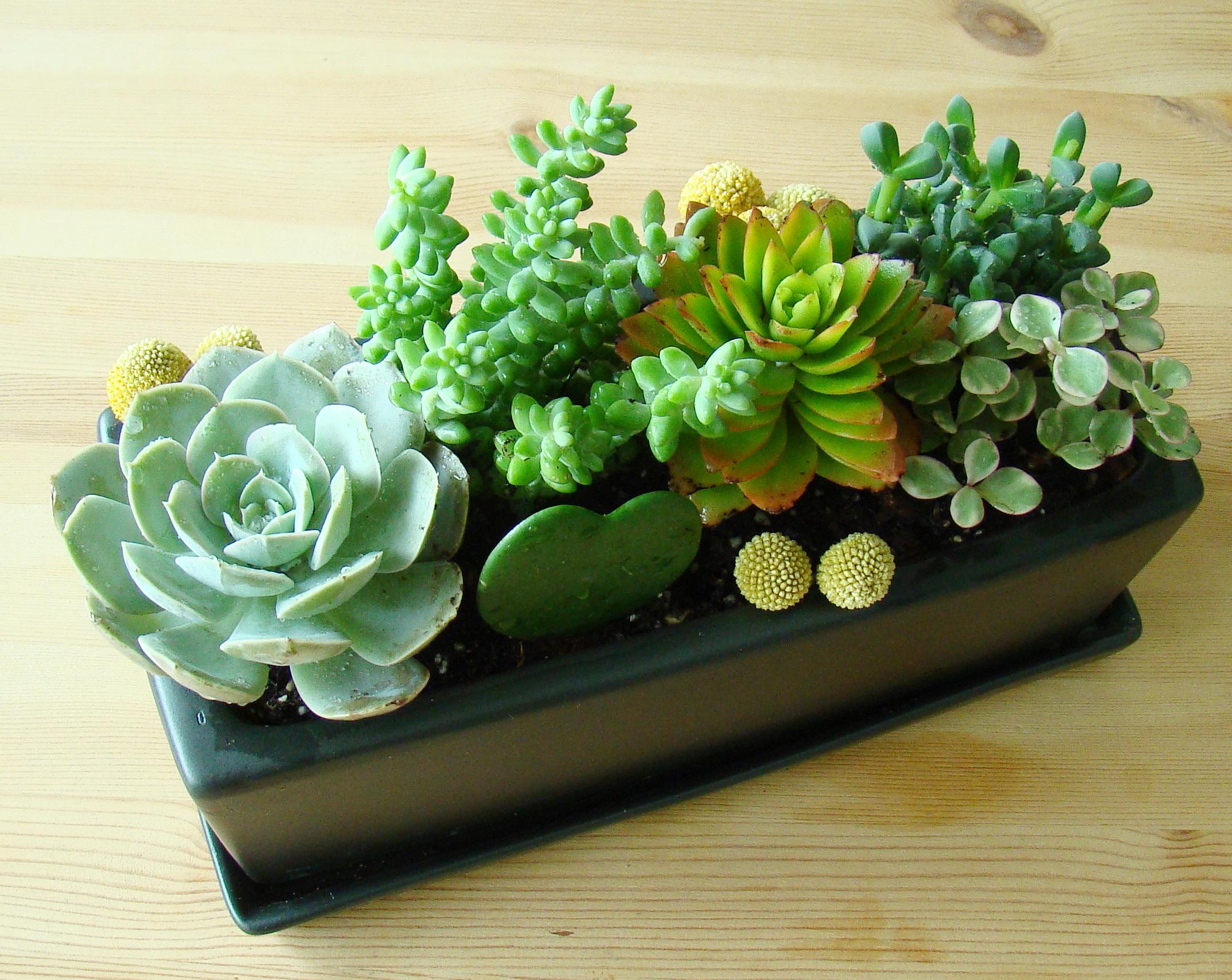 Succulent mix - Composizione piante grasse da interno ...